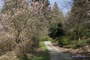 Washington Park Arboretum - a magnolia starting to open