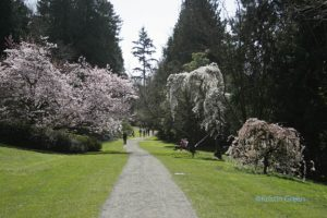 Washington Park Arboretum - the cherries in bloom