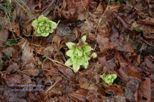 Petasites japonicus - butterbur 3-15-10