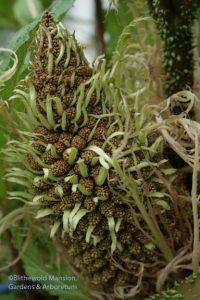 Gunnera manicata flower - detail