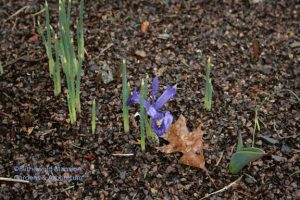a solitary Iris reticulata in the North Garden