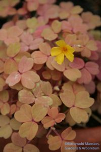 Oxalis 'Copper Glow' in the greenhouse