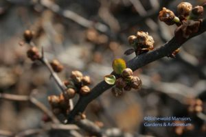 mouse ears on a quince - Chaenomeles contorta
