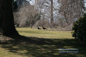 Turkeys out for a stoll