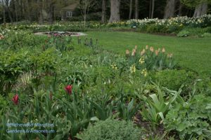 North Garden tulips - Pimpernel (red), Amazone (apricot), Jackpot (purple)