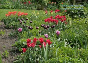 'Amazone', 'Pimpernel', 'Jackpot' in the North Garden