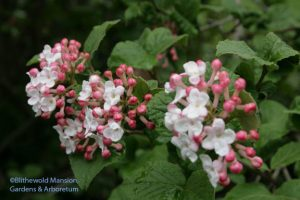 Viburnum carlesii - Korean spicebush in bloom a good two weeks early