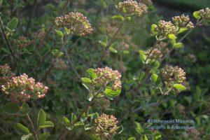 Viburnum carlesii 'Compactum' in bud 4-12