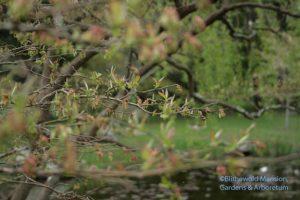 High bush blueberry High bush blueberry - Vaccinum corymbosum
