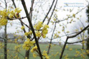 Cornus mas (Cornelian cherry) 4-1-10