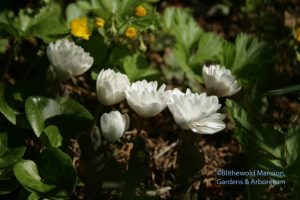 Sanguinaria canadensis 'Plena' - bloodroot