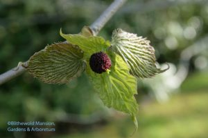 brand new flower of Davidia involucrata - Dove tree