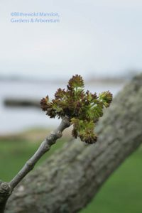 Ash flower bud burst (Fraxinus pennsylvanica - I think)