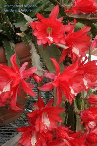 Nopalxochia ackermannii - orchid cactus