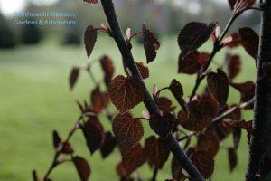 Cercidiphyllum japonicum 'Red Fox' - Katsura