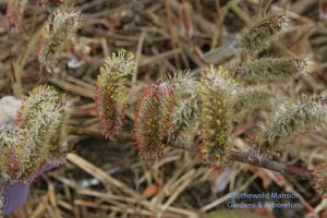 Salix chaenomeloides 'Mt. Aso' - prettier than ever 4-1-10
