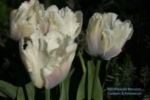 Tulip 'Snow parrot' - complete with a blue-ish blush on the outer petals