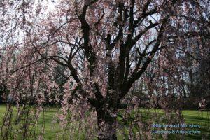 Prunus subhirtella 'Pendula' - weeping cherry