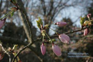 Yoshino cherry in the Water Garden opening 4-8-10