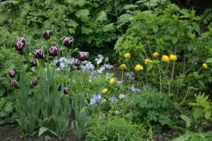 Tulip 'Jackpot', Phlox divaricata and Trollius 'Lemon Queen'   5-14-10