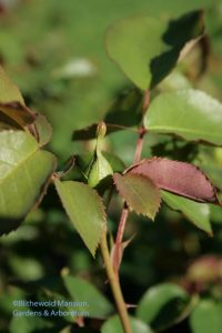 budded rose 5-4-10
