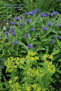 Centaurea montana and euphorbia 5-14-10