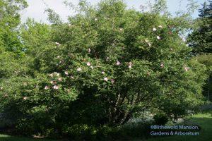 Rosa roxburghii - Chestnut rose 5-20-10