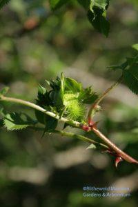 Chestnut rose bud (Rosa roxburghii) 5-4-10