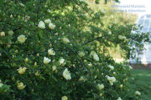 Father Hugo's rose (Rosa xanthina f. hugonis) 5-4-10