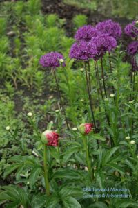 Peony and allium in  the Display Garden
