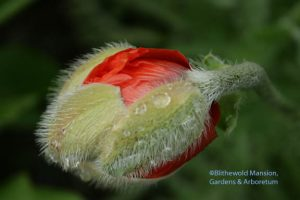 Papaver orientale 'Harvest Moon' starting to open