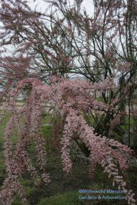 Tamarix ramosissima  5-14-10