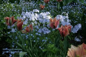 tulip 'Artist', woodland phlox and forget-me-not 5-4-10