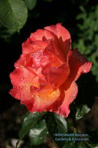 Rosa 'Livin Easy'