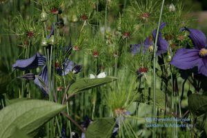 Allium 'Hair' and Clematis durandii