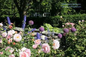 Allium 'Ambassador', Rosa 'Belle Story' and delphinium