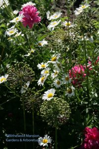allium seed heads in the peony row