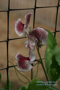 Sweet pea - Lathyrus odoratus 'Chocolate Streamer'