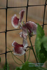 Sweet pea - Lathyrus odoratus 'Chocolate Streamer'