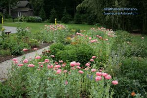 pink peony poppies (Papaver paeoniflorum) in the Cutting  Garden