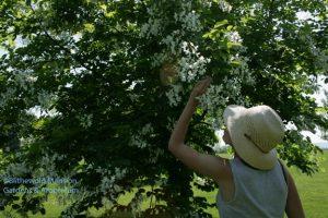 Lilah and the Kentucky yellowwood
