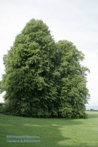 the Linden Grove (Tilia cordata)