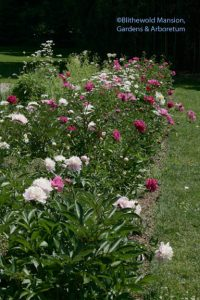 the peony row in the Display Garden