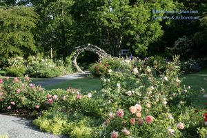 The Rose Garden is in peak June-bloom.