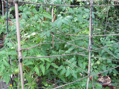 Creatively trellised tomatos at Ivan's garden