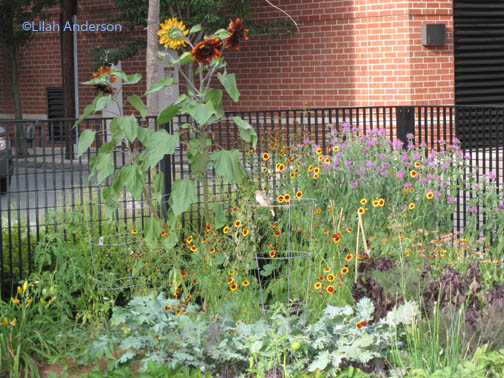 Another Cambridge Community Garden