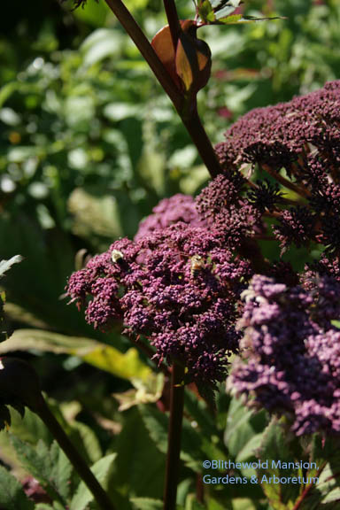 Angelica gigas and a couple of honeybees