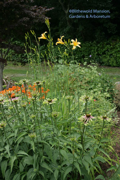 Hemerocalis 'Autumn Minaret' and Echinacea 'Envy'