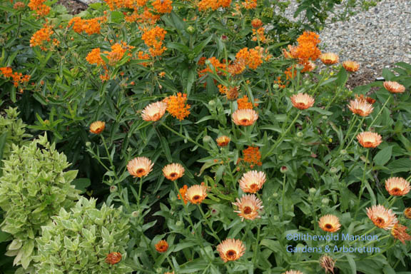 reseeded calendula, butterfly weed and Pesto Perpetuo basil