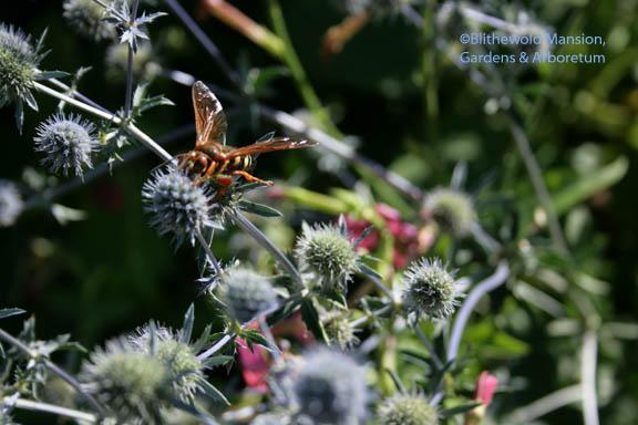 Eastern cicada killer on Eryngium planum